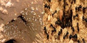 مستعمرات للارضة والنمل الاسود